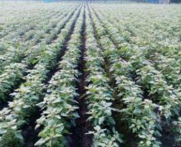 নতুন ফসল কিনোয়া ( Quinoa)-আশাবাদী কৃষক